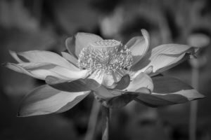 Lotus Oṃ maṇi padme hūṃ